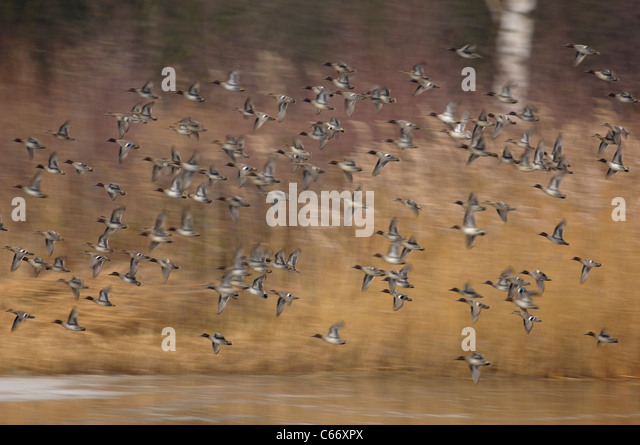 TEAL Anas crecca A flock of teal in flight (blurred to illustrate movement)Yorkshire, UK - Stock-Bilder