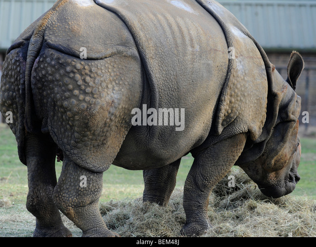 A rhino with food. - Stock Image