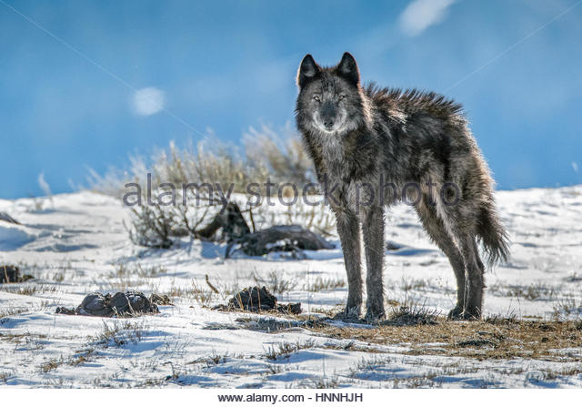 A lone member of the Phantom Springs wolf pack stands in Grand Teton National Park. - Stock-Bilder