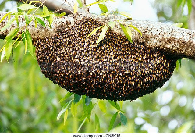 Beehive on a banyan tree, India - Stock-Bilder