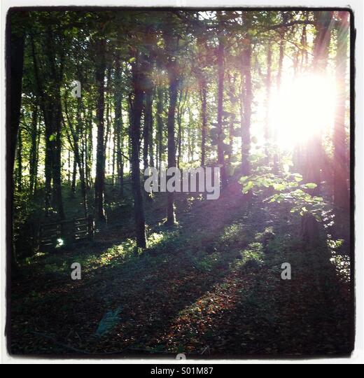 Sunlight through old English woodland - Stock Image
