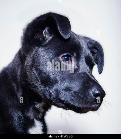 Black mixed breed puppy in studio profile portrait - Stock Image