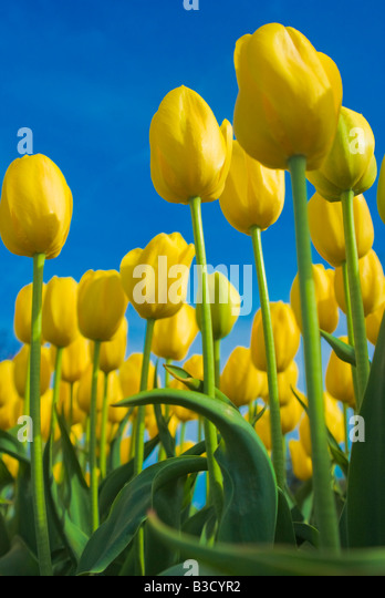 Field of yellow tulips - Stock Image