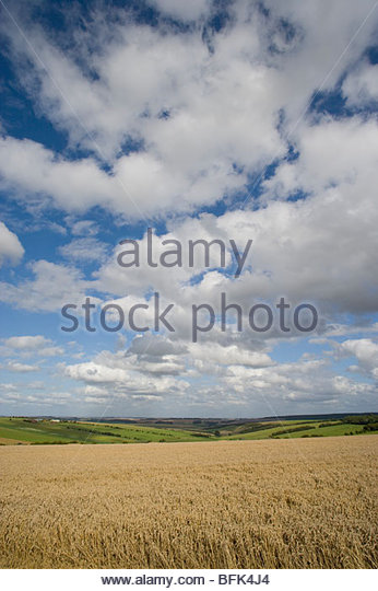 Clouds in blue sky over sunny wheat field and countryside - Stock Image