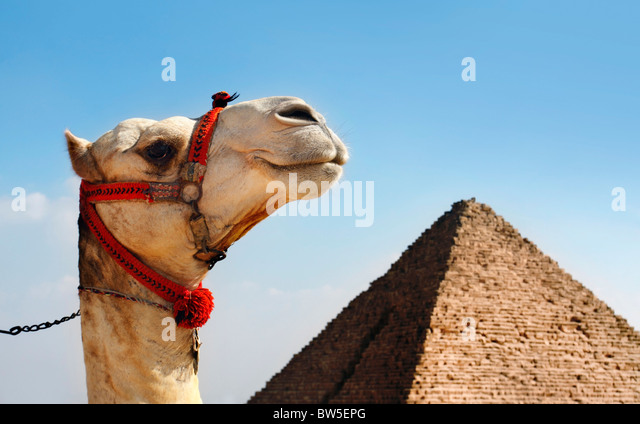 Camel with a Pyramid in background - Stock Image