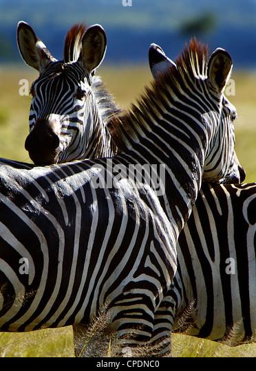 Zebra Equus quagga Mikumi national park.Tanzania Africa. - Stock Image