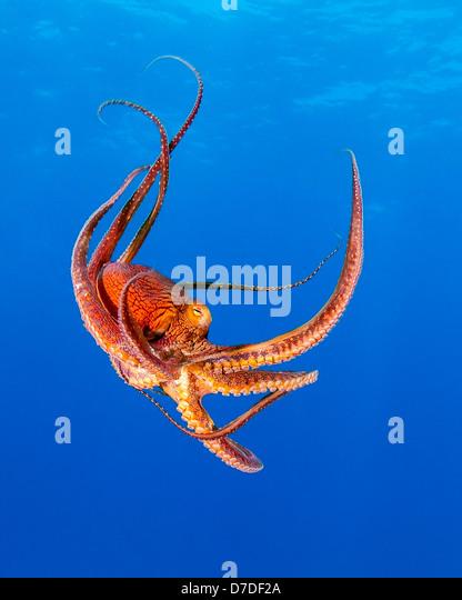 Day Octopus, Octopus cyanea, Kohala Coast, Big Island, Hawaii, USA - Stock-Bilder