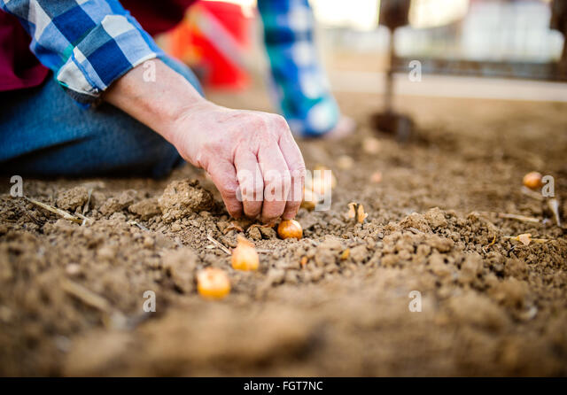 Close up, unrecognizable senior woman planting onions in row - Stock Image