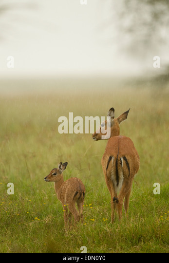 Impala mother with baby in the rain, Lake Nakur National Park, Kenya (Aepyceros melampu) - Stock-Bilder