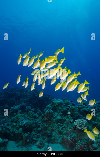 Medium shoal or school of blue striped snapper (Lutjanus kasmira), Naama Bay, off Sharm el-Sheikh, Sinai, Red Sea, - Stock Image