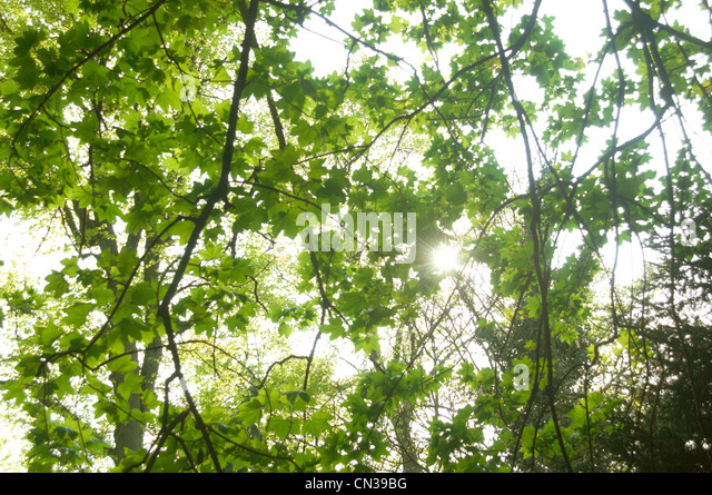 Sunlight coming through leaves of sycamore tree - Stock Image