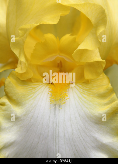 Close view of the iris flower petals from stamens and about. - Stock-Bilder