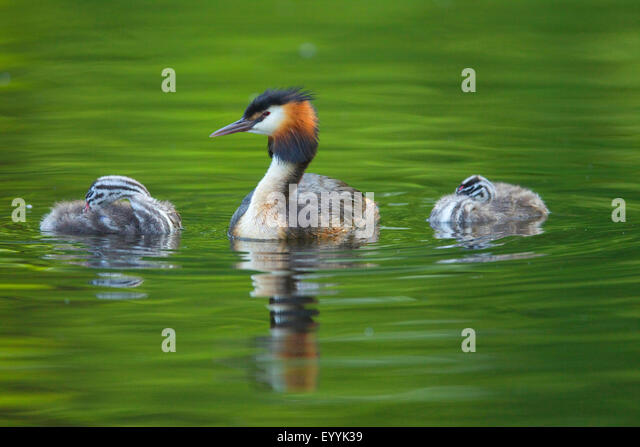 great crested grebe (Podiceps cristatus), adult bird with two young animals on the water, Germany - Stock-Bilder
