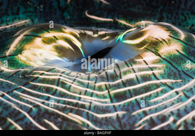 Iridescent Mantle of Giant Clam Tridacna Squamosa Micronesia Palau - Stock-Bilder