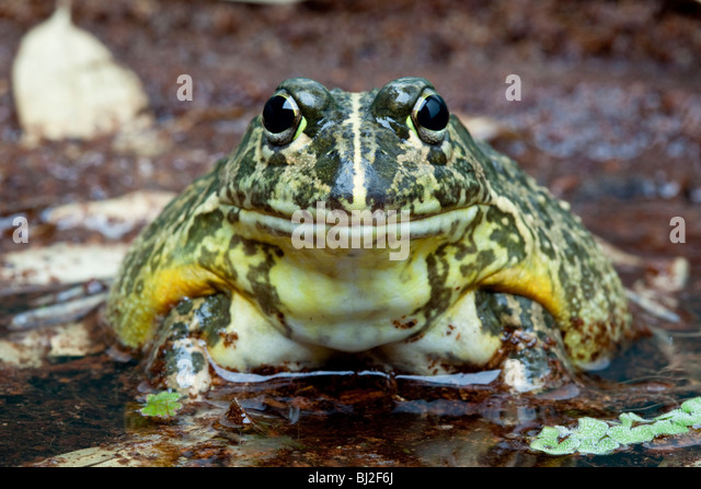 how to tell a wood frog between a male