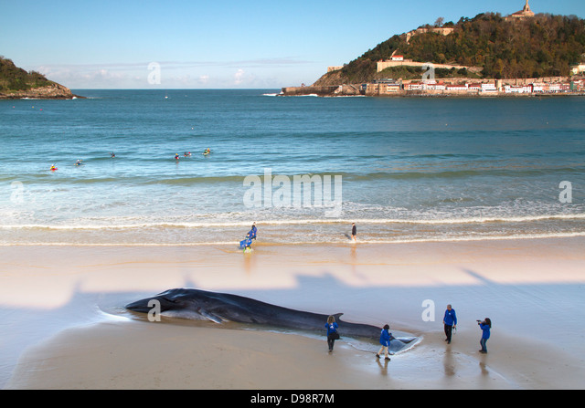 A Fin whale beached at San Sebastian, in the Basque country. - Stock Image
