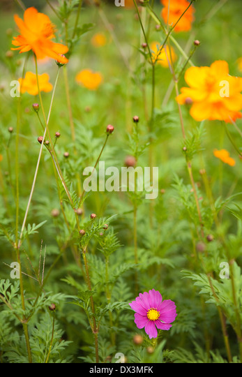 Orange and purple wildflowers, close up - Stock Image