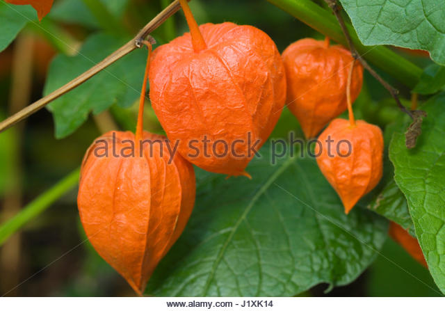 physalis alkekengi var franchetii stock photos physalis alkekengi var franchetii stock images. Black Bedroom Furniture Sets. Home Design Ideas