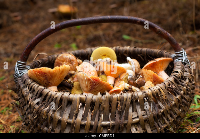 Basket with mushrooms in forest - Stock Image