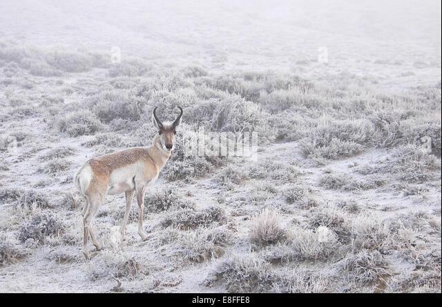 Deer in snow - Stock Image