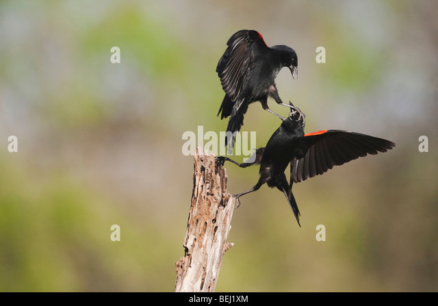 Red-winged Blackbird (Agelaius phoeniceus), males fighting, Sinton, Corpus Christi, Coastal Bend, Texas, USA - Stock Image