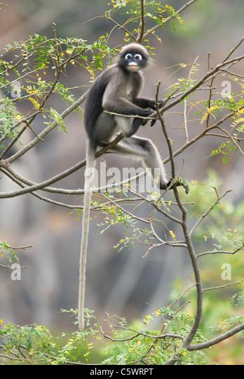 Dusky Langur in monsoon rainforest, South-west Thailand - Stock Image