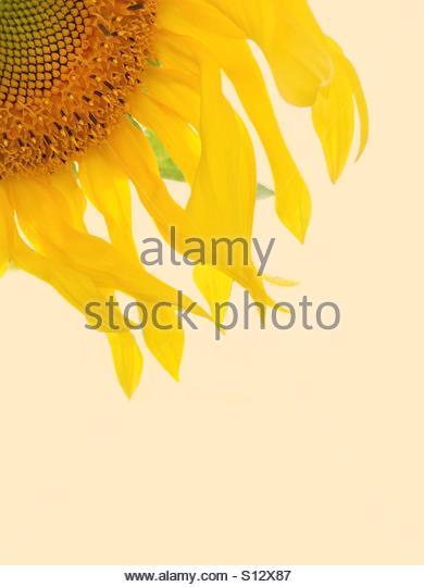 Yellow Sunflower - Stock Image