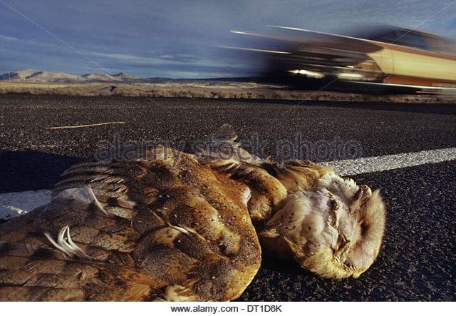 Klamath Basin National Wildlife Refuge California USA Barn owl dead car collision Tyto alba California - Stock Image
