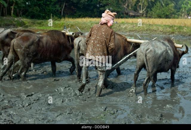 Bangladeshi man plowing ,Bagerhat , Bangladesh - Stock Image