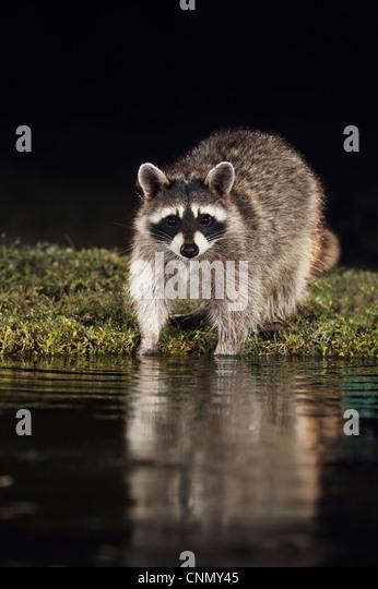 Northern Raccoon (Procyon lotor), adult at night at pond, Dinero, Lake Corpus Christi, South Texas, USA - Stock Image