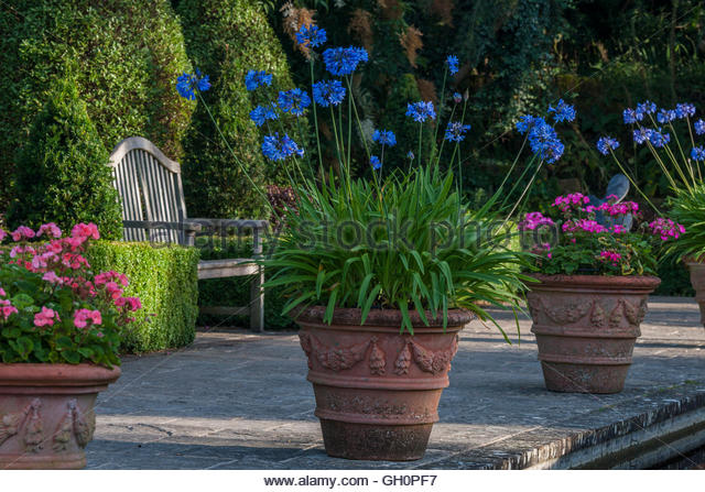 Pink Pelargonium 'Parade' Agapanthus praecox containers - Stock Image