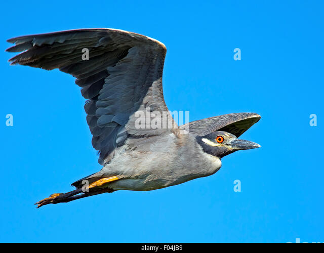 Night heron in flight - photo#21