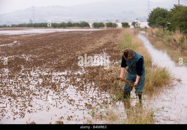 Farmer inspecting damage in flooded wheat field Wooler Northumberland - Stock Image