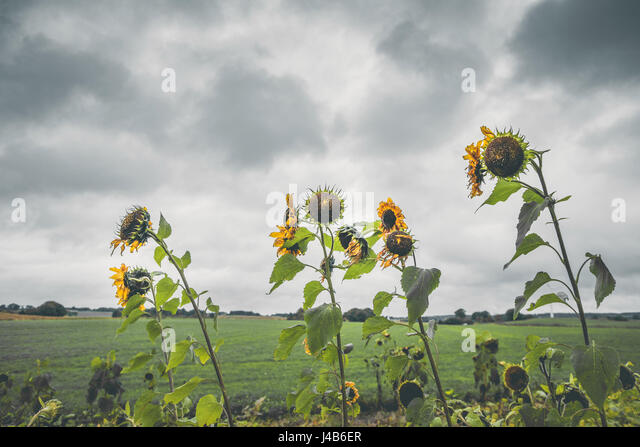 Withered sunflowers in cloudy weather on a field in the fall - Stock Image