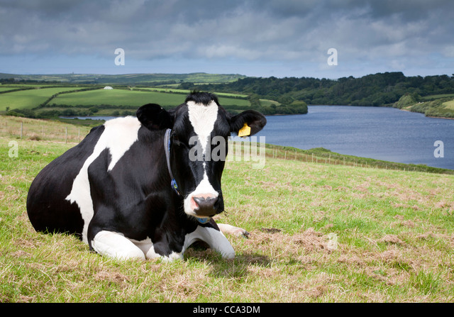 Friesian Cow Overlooking Drift Reservoir; Cornwall; UK - Stock Image
