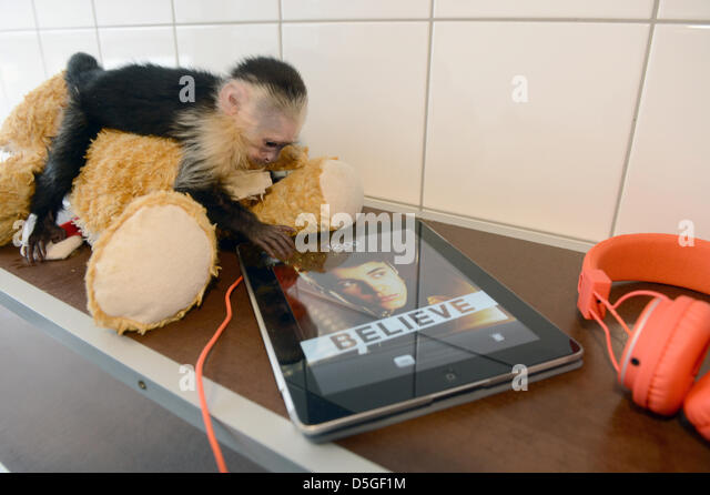 The monkey Mally of Canadian singer Justin Bieber sits on a stuffed toy next to an iPad with a photo of the singer - Stock Image