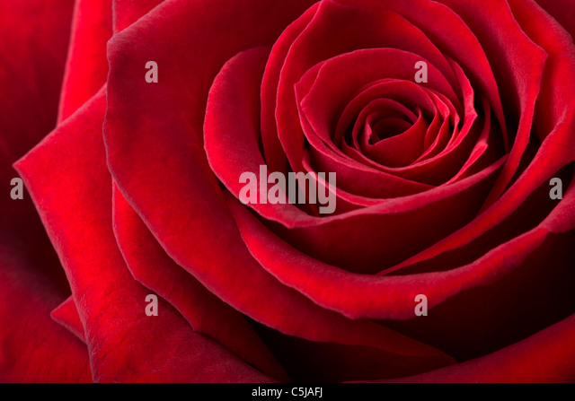 Red rose background - Stock Image