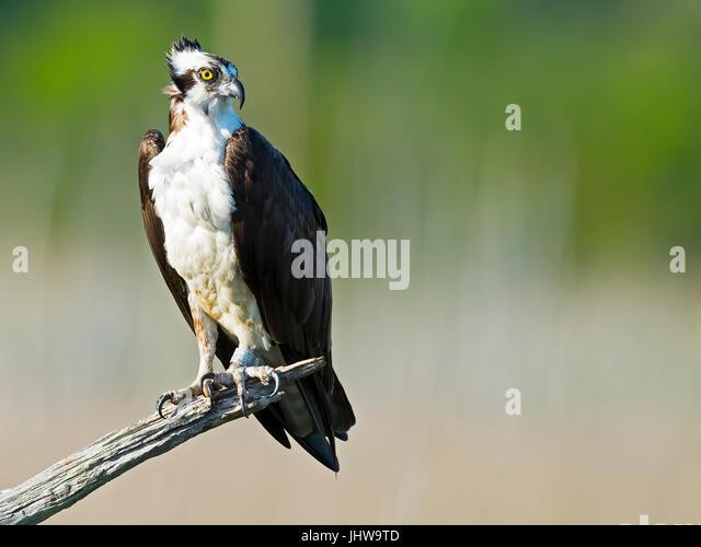 Osprey in Tree - Stock Image