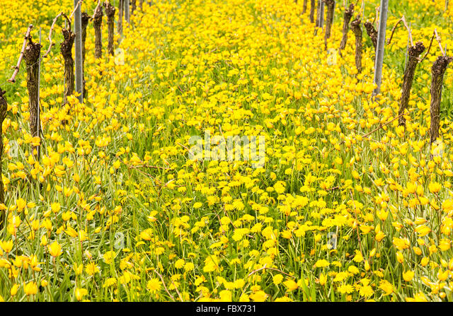 Close up of the yellow turkish tulip by old vine in vineyard - Stock Image