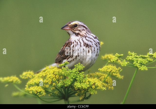Savannah Sparrow perched in Wild Parsnip - Stock Image
