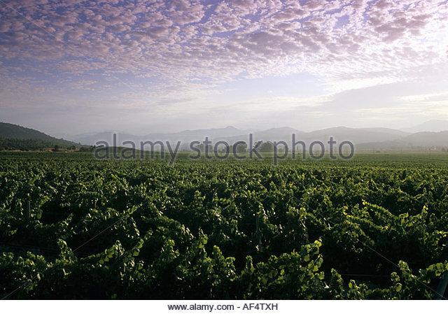 Vineyards, Valle de Casablanca, Chile - Stock Image