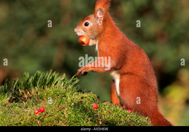 European red squirrel with hazelnut in the mouth ( Sciurus vulgaris) - Stock Image