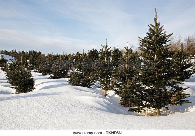 Fraser Fir Tree Stock Photos & Fraser Fir Tree Stock