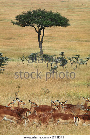 Masai Mara Reserve Kenya Impalas and Aepyceros melampus grassland Kenya - Stock Image