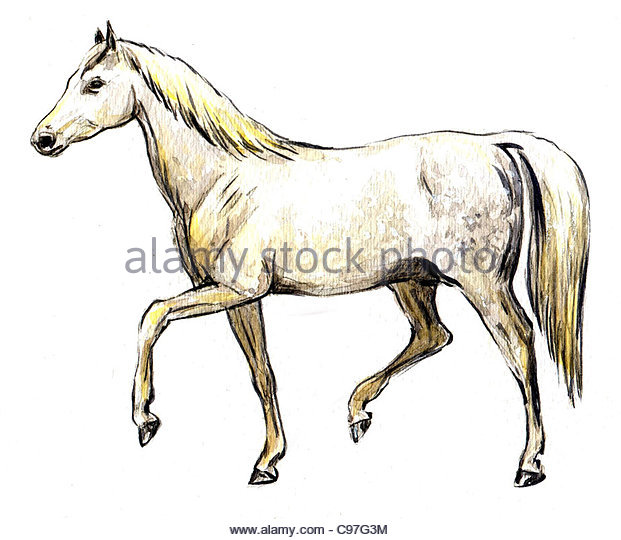 Series Horse breeds Arabs - Stock Image