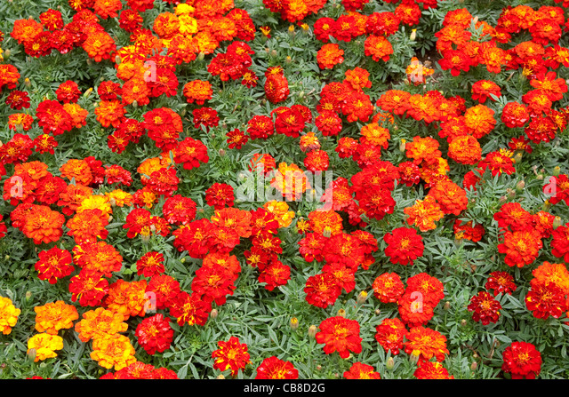 Red French Marigolds - Stock Image