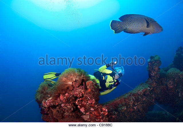 Scuba diving with a Humphead Wrasse (Cheilinus undulatus) at the SS Yongala ship wreck Great Barrier Reef - Stock Image