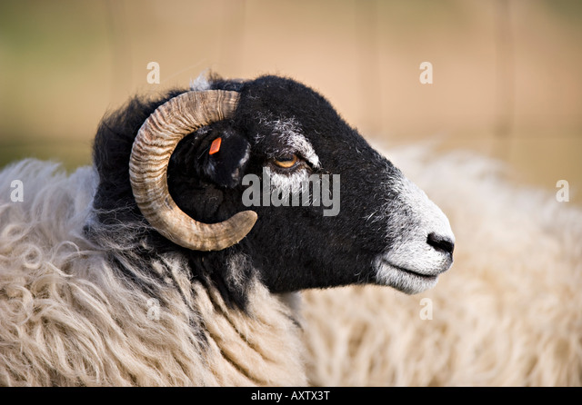 Sheep in Cumbria - Stock Image