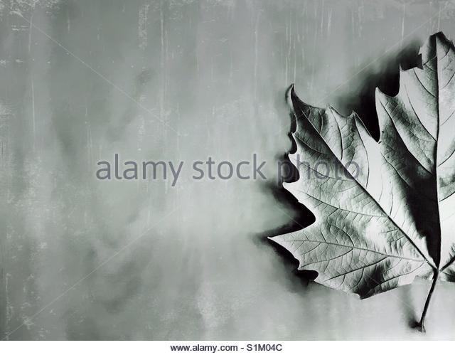 a maple Leaf' - Stock Image
