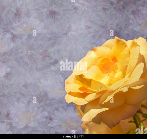 Purple lilac floral sympathy condolences card with yellow rose flower  background - Stock Image